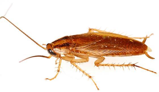 Ψιλή κατσαρίδα